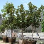 ARBOL Magnolia