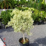 Arbol Ficus Pinto