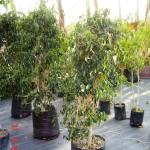 Arbol Ficus ch