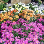 Crisantemos 2