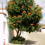 Laurel de la India