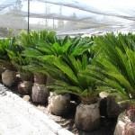 Palm Cyca 3