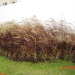 Pasto Pennisetum rojo